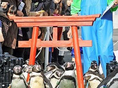 ペンギンが新春恒例の「初詣」 越前松島水族館、愛らしく