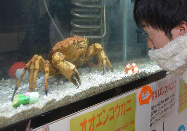 甲羅の色や模様がサルの顔に似ているオオエンコウガニ=7日、福井県坂井市の越前松島水族館