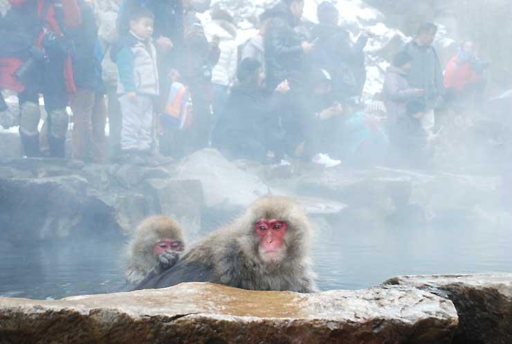 温泉に漬かって毛づくろいをする猿たち。湯気の向こうで多くの観光客が写真撮影している