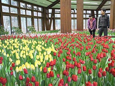冬咲く「アイスチューリップ」1万本 安曇野の国営公園