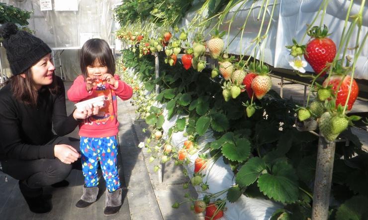 赤く色づいたイチゴを味わう家族連れ=9日、喬木村