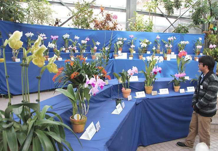 原種や初公開品種など約200点が並ぶ「新春洋ラン展」
