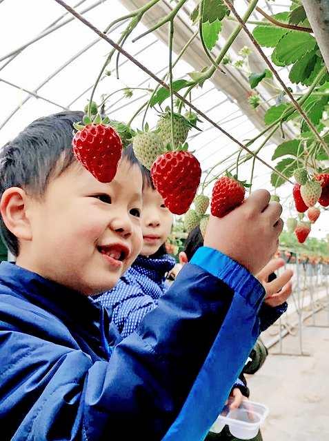 イチゴ摘みを体験する園児=15日、あわら市山十楽の「いちごハウス農楽里」