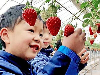 イチゴ摘み、ほっぺとろける甘さ あわらの農園オープン、園児訪問