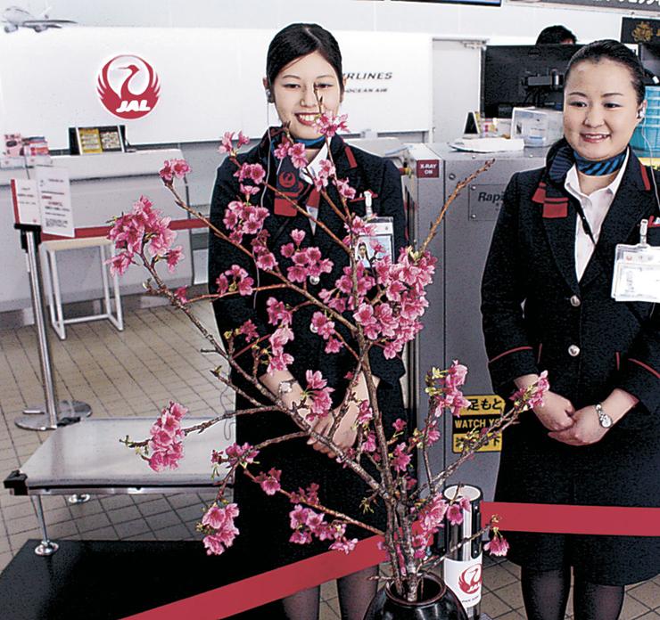 一足早い春を届けた「琉球寒緋桜」=小松空港