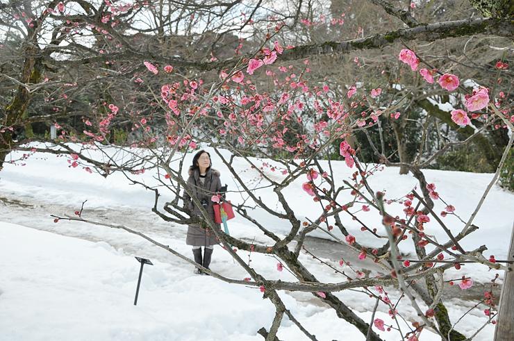 雪景色に彩りを添えるウメの花=高岡古城公園