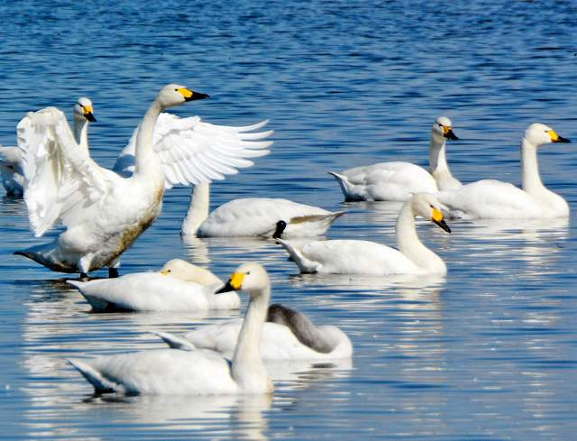 気持ちよさそうに真っ白な羽を広げるコハクチョウ=3日、福井県坂井市坂井町西