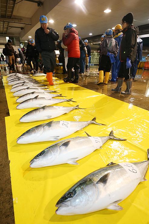 氷見魚市場の競りに並んだブリ。今シーズンは不漁で「ひみ寒ぶり」の宣言は見送られた=1月9日
