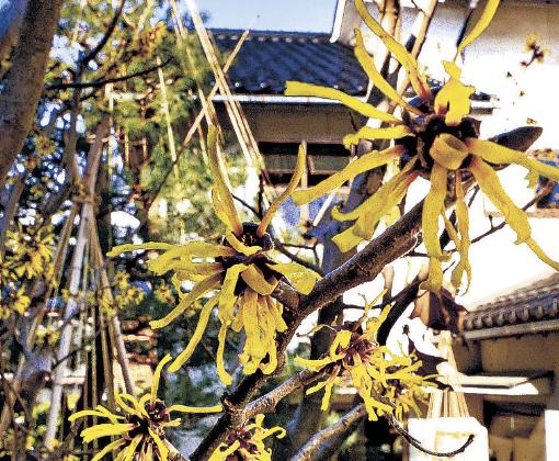 マンサクの黄色い花を観賞する観光客=4日午前10時半、金沢市の西茶屋資料館