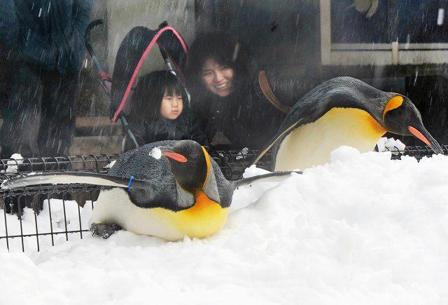 腹ばいになって移動したり、つついたり雪の上で遊ぶオウサマペンギン=16日、福井県坂井市の越前松島水族館