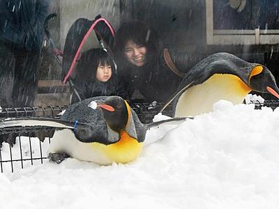 久々の雪にペンギン大興奮 福井県坂井市・越前松島水族館