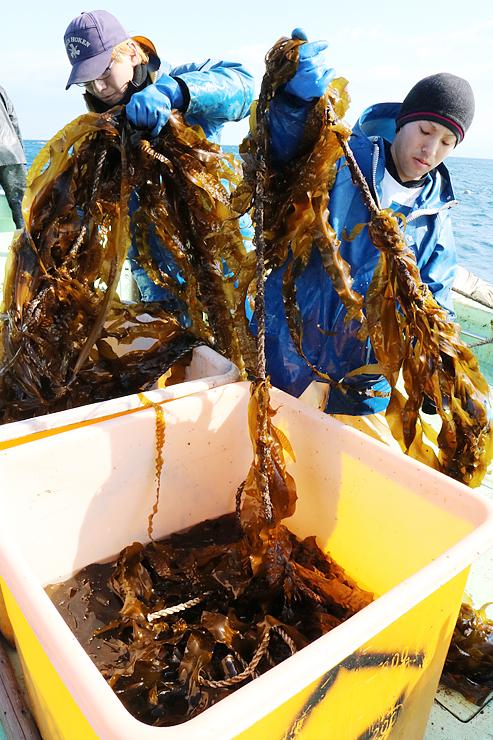 長さ1・5~2メートルに育ったマコンブを収穫する漁師=新湊沖