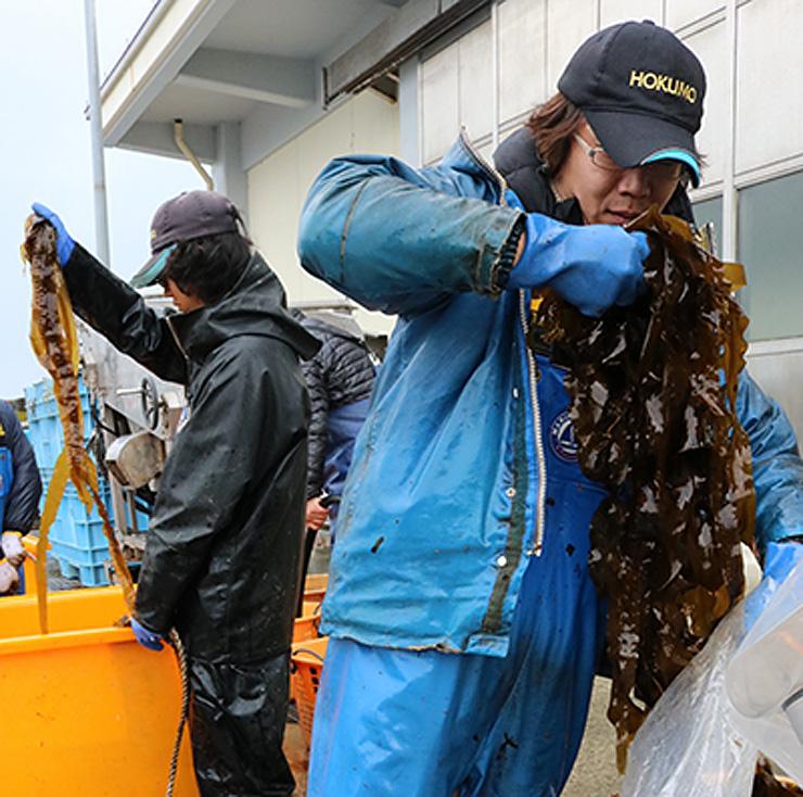 水揚げした養殖マコンブ「春告げ昆布」を袋詰めする漁師=新湊漁港