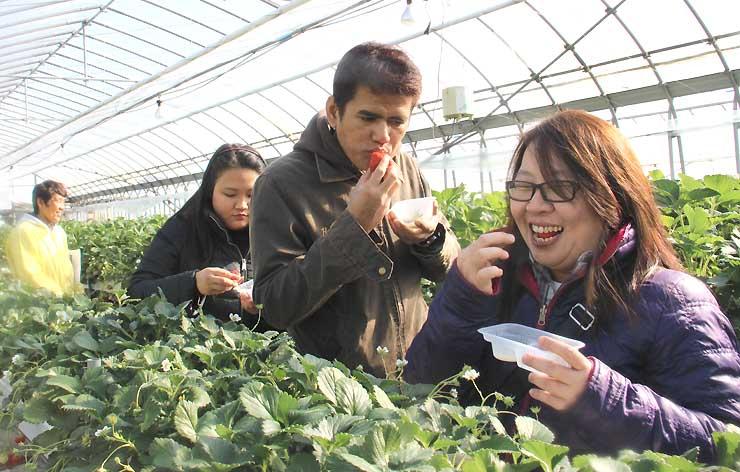 イチゴ狩りを体験するインドネシアの旅行会社社員ら