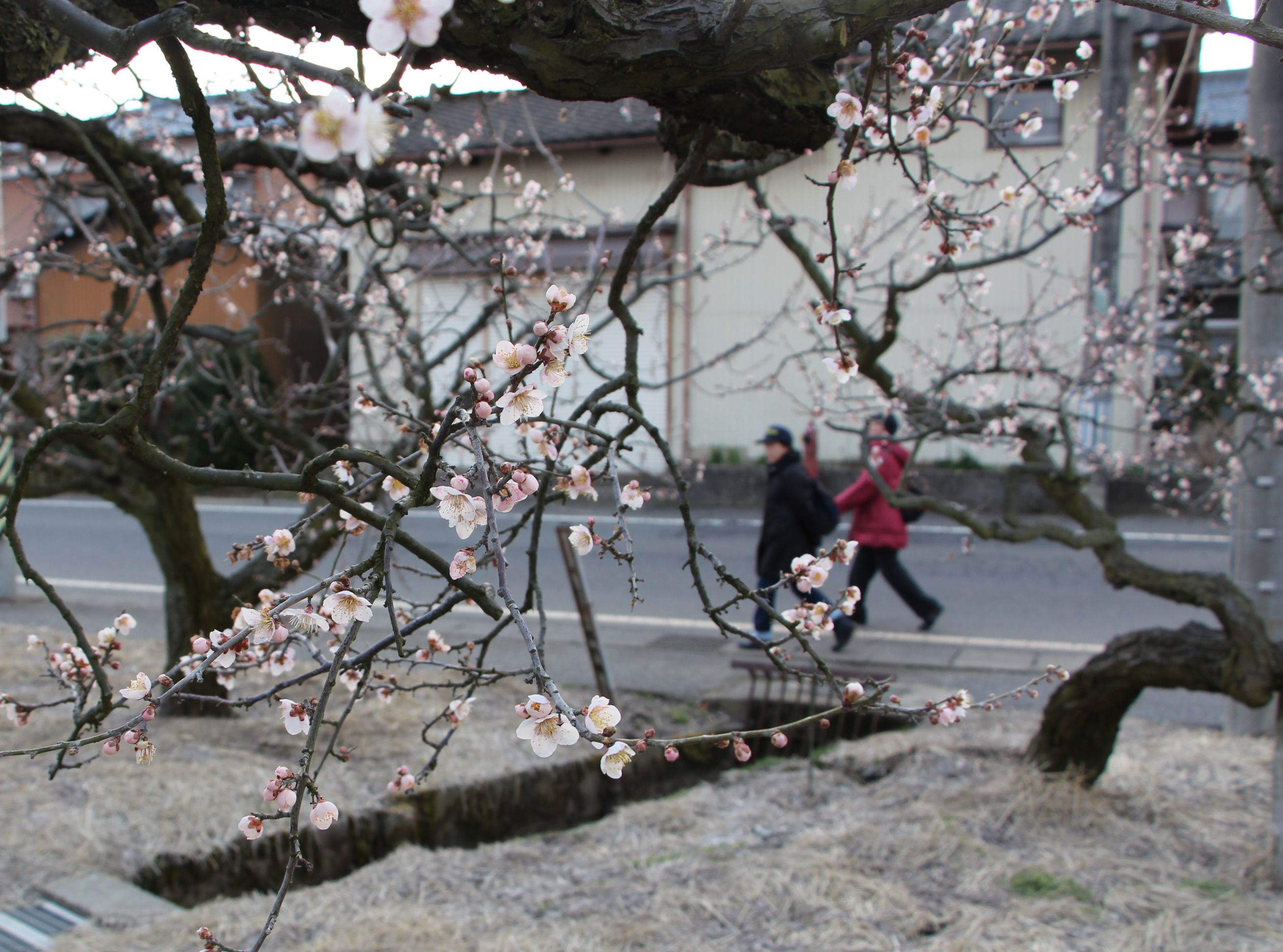 亀田地区に春の訪れを告げる梅の花=新潟市江南区茨曽根