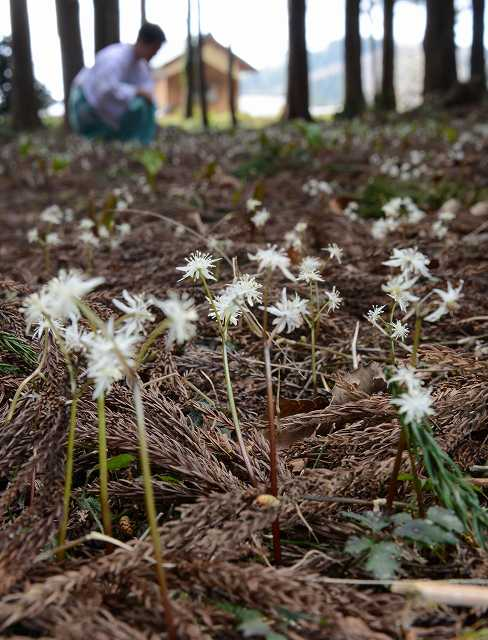 杉林で白く、かれんに咲くオウレンの花=11日、福井県越前町織田の劔神社
