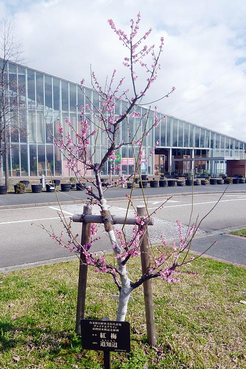 鮮やかな花を咲かせる紅梅