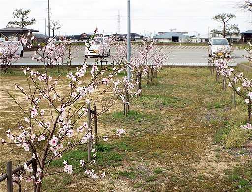 薄いピンクの花を咲かせるアーモンドの木=2015年4月8日、福井県坂井市の春江B&G海洋センター