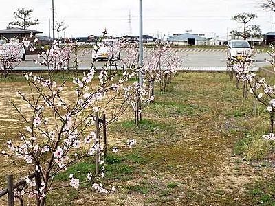 アーモンドの花楽しんで 植樹5年、4月10日初フェスタ