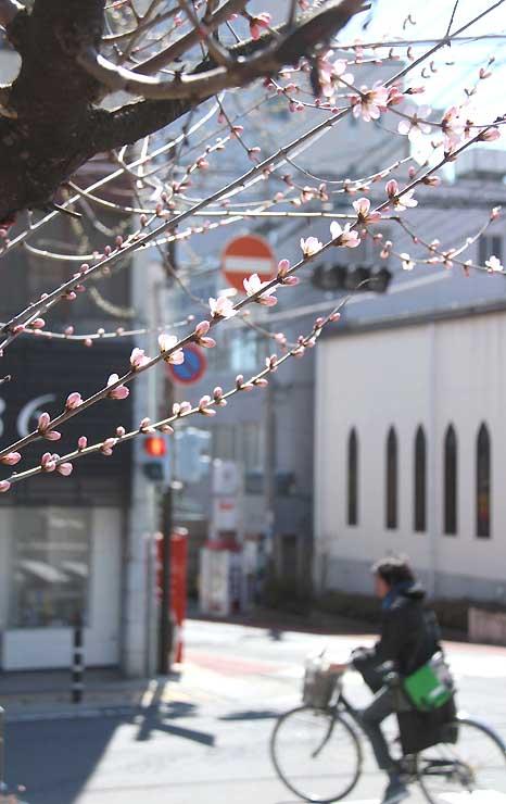 薄桃色の花を咲かせた長野市立長野図書館のロトウザクラ