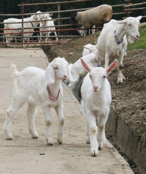 牧舎の外でのびのび過ごす子ヤギたち=18日、上越市浦川原区