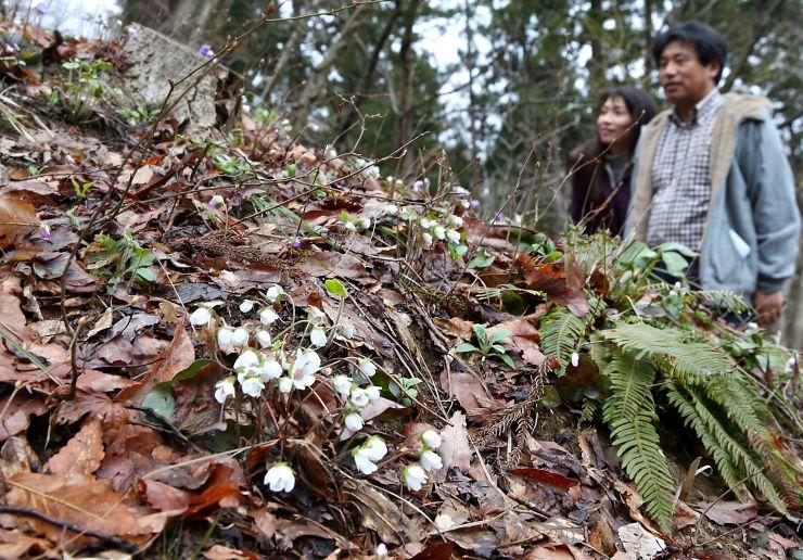 雪割草が斜面を彩る雪国植物園=19日、長岡市宮本町3
