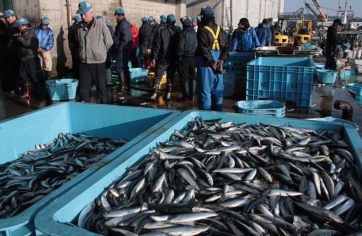 マイワシの豊漁が続き、22日は129トンが運び込まれた=氷見魚市場