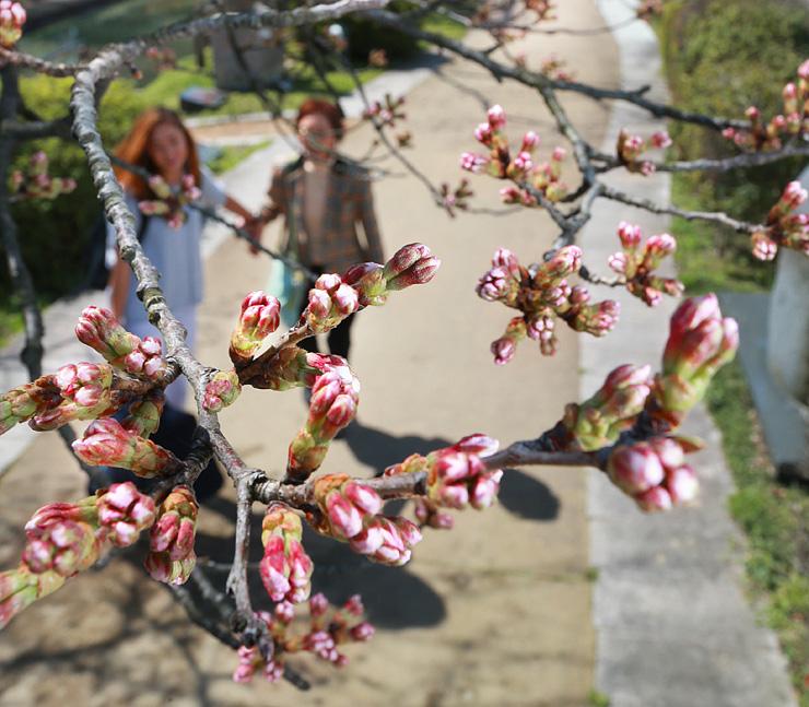 陽気に誘われ、色づき始めた桜のつぼみ=富山市新総曲輪