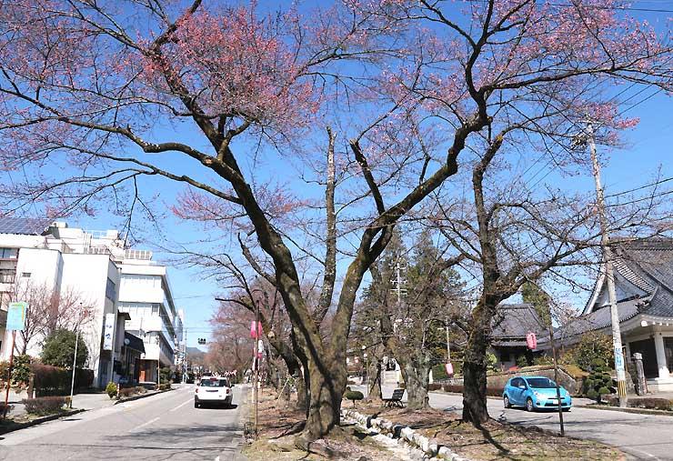 大宮諏訪神社に向かう大宮通りには桜が咲き始めた=22日午後