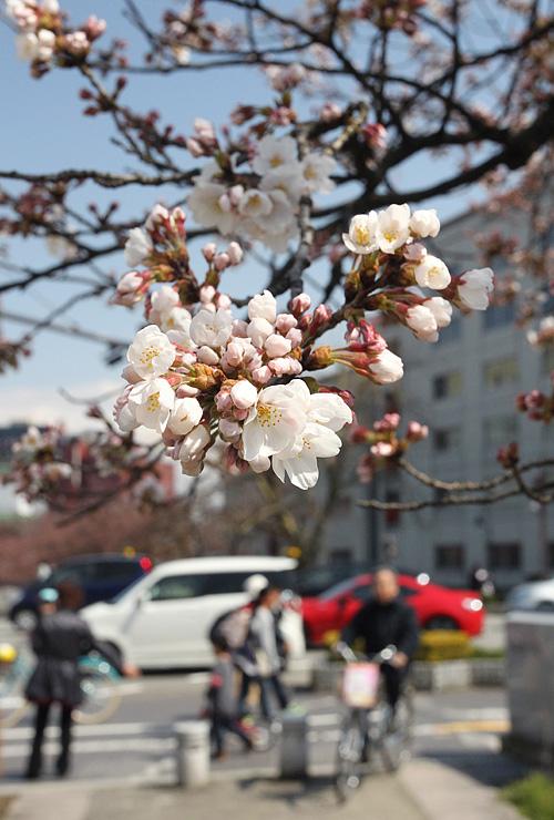 日差しを浴びて咲き始めた松川べりのソメイヨシノ=富山市新総曲輪