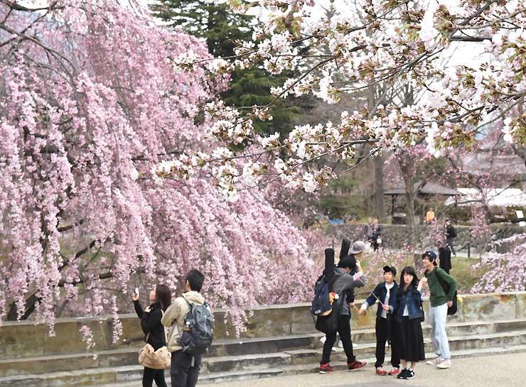 開花が確認されたソメイヨシノ(手前右)と、見頃のシダレザクラ(左奥)=1日午後5時23分、上田市の上田城跡公園