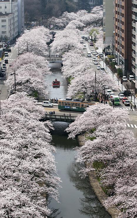 桜が満開の松川べり。観光客らが遊覧船や橋の上から花見を楽しんだ=富山市東田地方町のビル屋上から