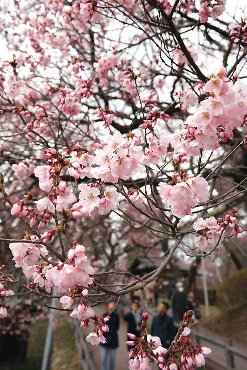 開花した高遠城址公園のタカトオコヒガンザクラ=3日午後1時24分、伊那市