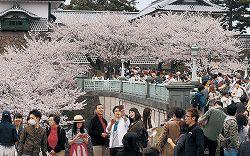 満開の桜を楽しむ花見客=兼六園周辺