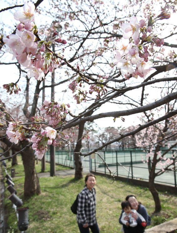平年より7日早く開花した高田公園の桜。ピンクのつぼみと花が観桜会開幕を彩った=1日、上越市