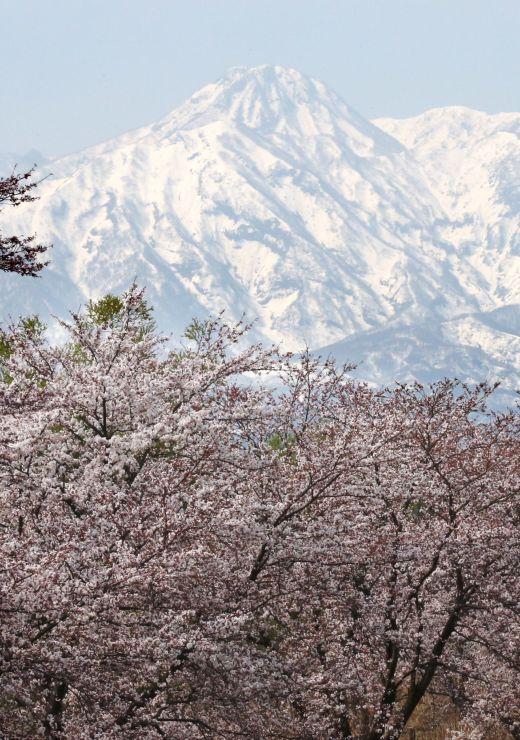 妙高山にはっきりと現れた「跳ね馬」(イラスト参照)。矢代川周辺では桜も咲き始めた=6日、妙高市