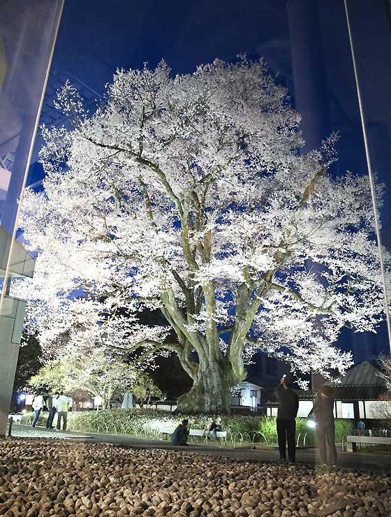 飯田市美術博物館のガラス越しに望む「長姫のエドヒガン」。まるでショーケースの中=6日夜