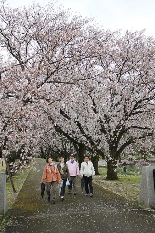 """ソメイヨシノの並木がつくる""""桜のトンネル""""を散策する来園者"""