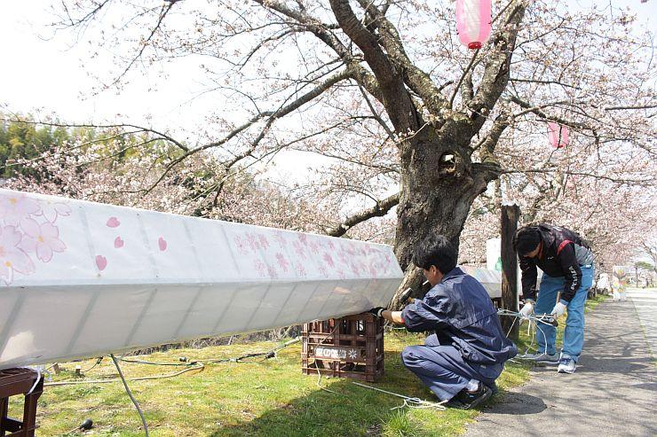 桜のライトアップに向けてハッタンぼんぼりを設置する住民ら=6日、佐渡市真野
