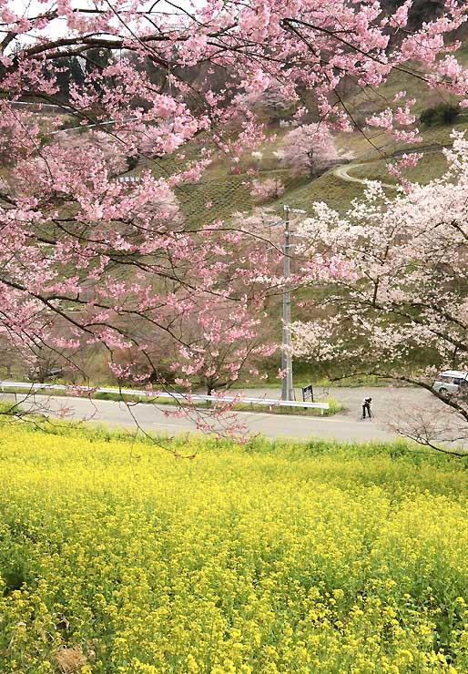 菜の花の黄色と桜のピンクのコントラストが美しい池田町の夢農場