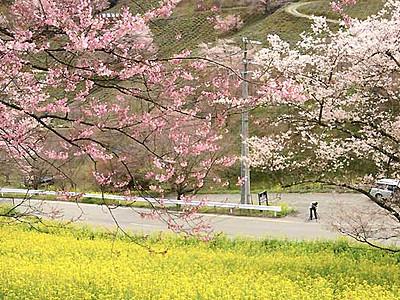 菜の花畑に映える桜色 池田の夢農場