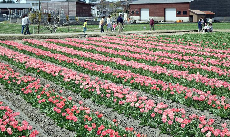 チューリップが咲き誇るほ場=JAみな穂中央農業倉庫周辺