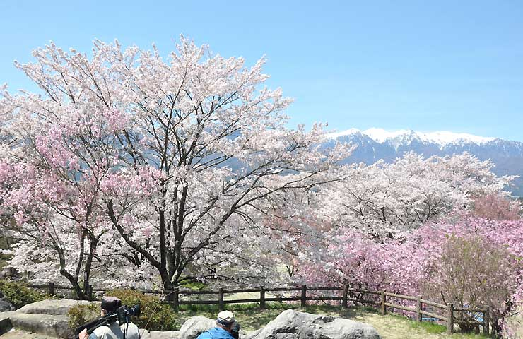青空に浮かぶ残雪の中アの山並みを背景に咲く桜=11日、中川村の大草城址公園