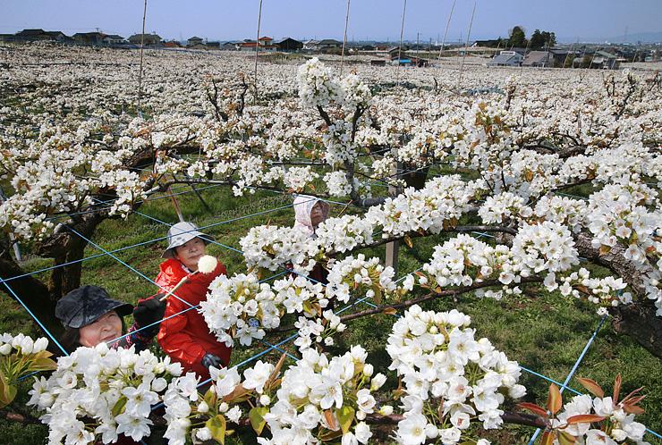 一面に咲いたナシの花に人工授粉する農家の人たち=富山市吉作