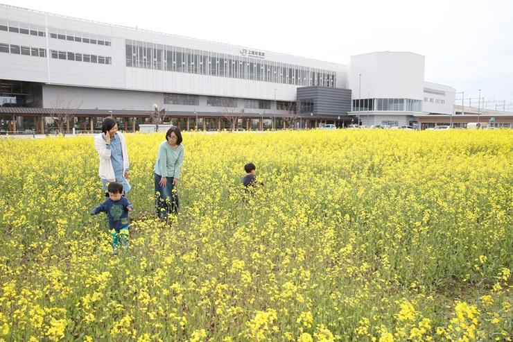 上越妙高駅前に咲く菜の花。子どもたちが走り回って楽しんでいた=13日、上越市