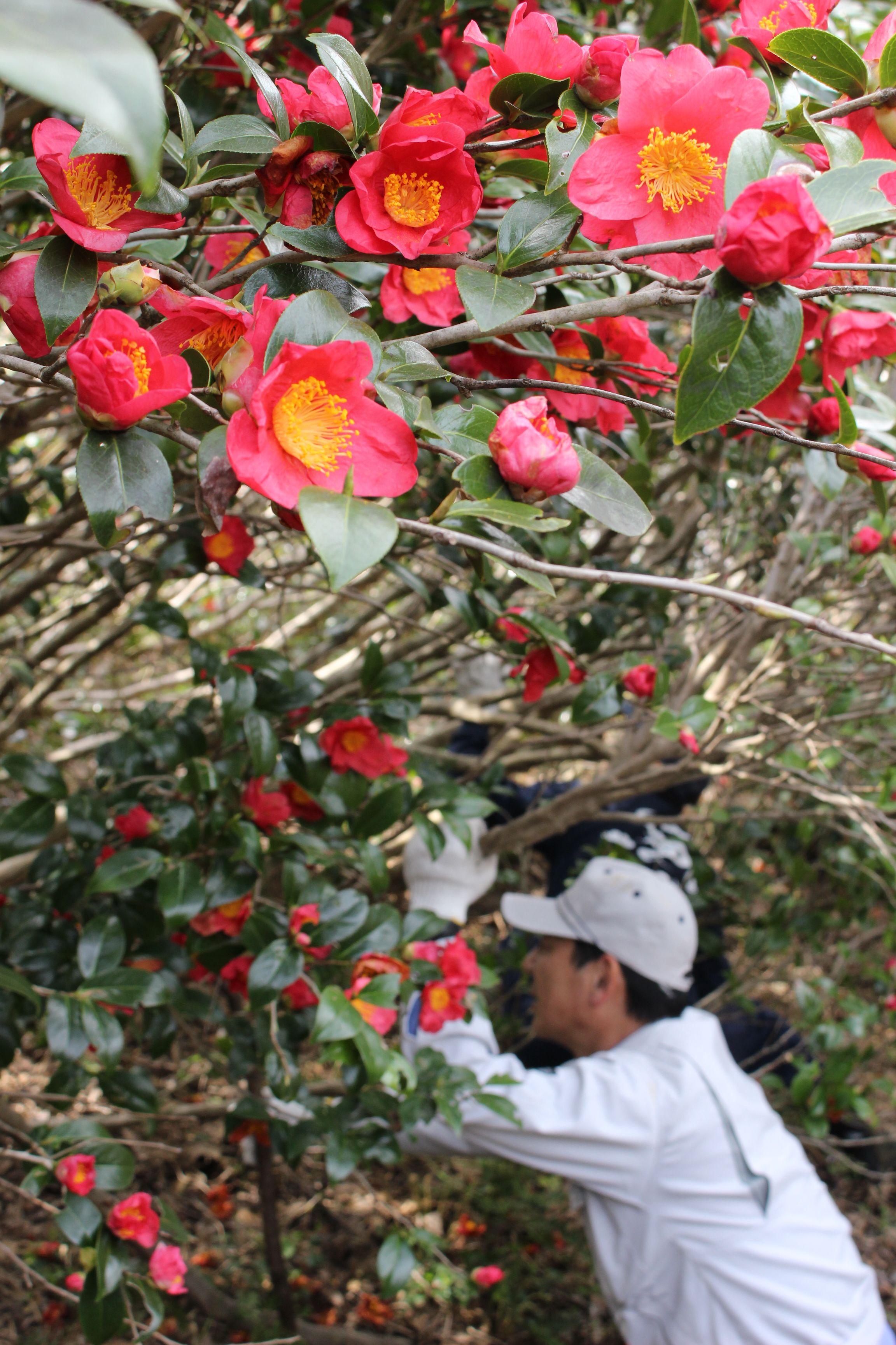 雪椿の原種が咲き誇る角神雪椿園=13日、阿賀町鹿瀬