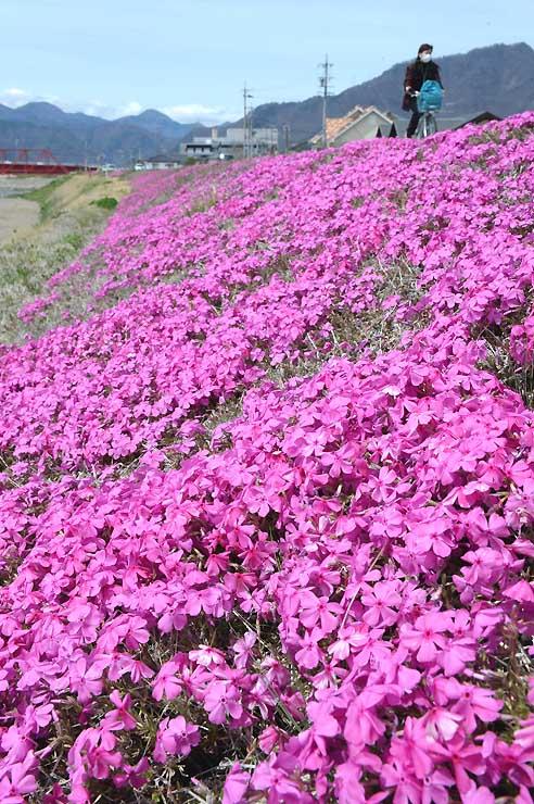 千曲川堤防沿いに咲いたシバザクラ=14日、上田市天神4