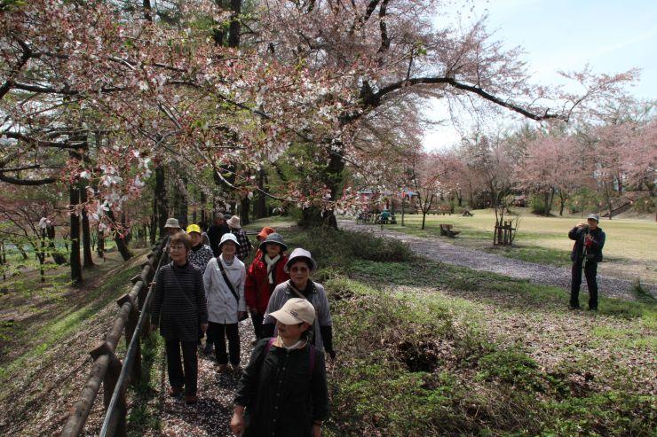 16、17の両日にさくらまつりが開かれる経塚山公園=14日、妙高市小出雲