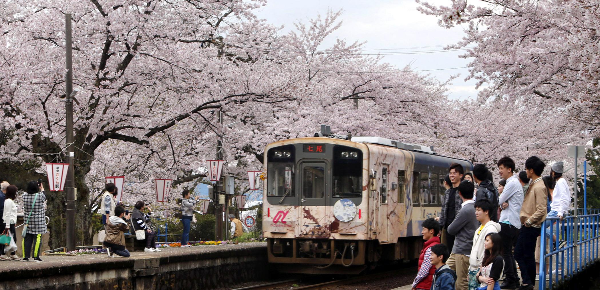 満開となった「桜のトンネル」を通る列車=穴水町曽福ののと鉄道能登鹿島駅