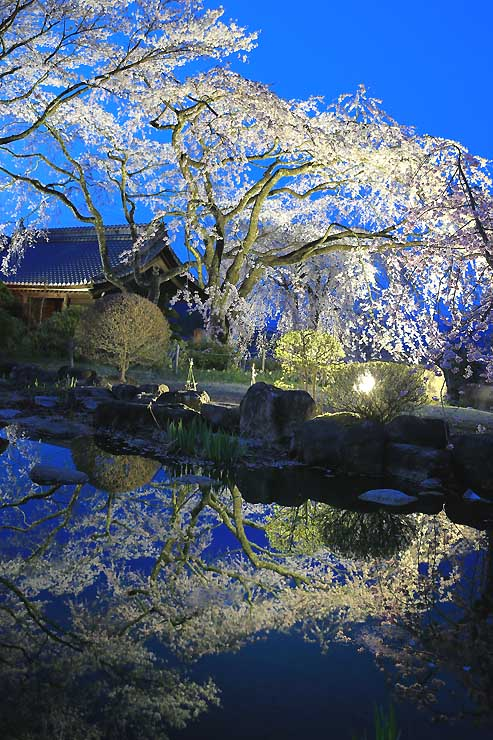 ライトアップされ、池の水面に映る光前寺のシダレザクラ=15日夜、駒ケ根市